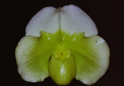Paph.White Shadow 'Pure White'